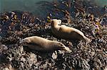 Atlantic grey seals (Halichoerus grypus) hauled out on rock, Skomer Island, Pembrokeshire, Wales, United Kingdom, Europe