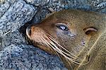 Galapagos fur seal (Arctocephalus galapagoensis), Puerto Egas, Santiago Island, Galapagos Islands, Ecuador, South America