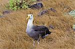 Adult waved albatross (Diomedea irrorata), Espanola Island, Galapagos Islands, UNESCO World Heritage Site, Ecuador, South America