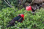 Adult male great frigatebirds (Fregata minor), Genovesa Island, Galapagos Islands, UNESCO World Heritage Site, Ecuador, South America
