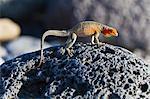 Female lava lizard (Microlophus spp), Las Bachas, Santa Cruz Island, Galapagos Islands, Ecuador, South America