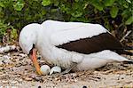 Adult Nazca booby (Sula grantii) on eggs, Punta Suarez, Santiago Island, Galapagos Islands, Ecuador, South America