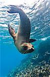 Galapagos sea lion (Zalophus wollebaeki) underwater, Champion Island, Galapagos Islands, Ecuador, South America