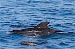 Short-finned pilot whale (Globicephala macrorhynchus) and bottlenose dolphin (Tursiops truncatus), Isla San Pedro Martir, Gulf of California (Sea of Cortez), Baja California Norte, Mexico, North America