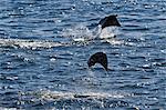 Adult spinetail mobula (Mobula japanica) leaping, Isla Espiritu Santo, Gulf of California (Sea of Cortez), Baja California Sur, Mexico, North America