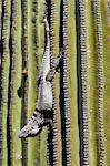 San Esteban spiny-tailed iguana (Ctenosaura conspicuosa) on cardon cactus, Isla San Esteban, Gulf of California (Sea of Cortez), Baja California, Mexico, North America