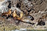 California sea lions (Zalophus californianus), Los Islotes, Baja California Sur, Gulf of California (Sea of Cortez), Mexico, North America
