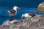 Yellow-footed gulls (Larus livens), Gulf of California (Sea of Cortez), Baja California Sur, Mexico, North America