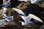 Elegant terns (Thalasseus elegans) mating, Isla Rasa, Gulf of California (Sea of Cortez), Baja California, Mexico, North America