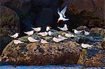 Elegant terns (Thalasseus elegans), Isla Rasa, Gulf of California (Sea of Cortez), Baja California, Mexico, North America