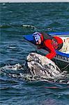 California gray whale (Eschrichtius robustus) and whale watcher on boat, San Ignacio Lagoon, Baja California Sur, Mexico, North America