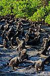 Galapagos marine iguanas (Amblyrhynchus cristatus), Fernandina Island, Galapagos Islands, UNESCO World Heritage Site, Ecuador, South America