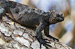 Galapagos marine iguana (Amblyrhynchus cristatus), Puerto Ayora, Santa Cruz Island, Galapagos Islands, Ecuador, South America