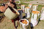 Carrot harvest, Vakinankaratra region, Madagascar, Africa