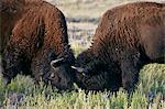 Bison (Bison bison) bulls sparring, Custer State Park, South Dakota, United States of America, North America