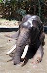 Bathing elephant in Periyar National Park, Kerala, India, Asia
