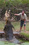 Saltwater crocodile (Crocodylus porosus) feeding in the Townsville Sanctuary, Queensland, Australia, Pacific