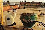 Portrait of cat sitting on window sill, Marrakesh, Morocco, Africa