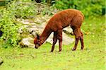 Side View of Young Brown Llama (Lama glama) Eating Grass