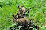 Three Eurasian Lynx Cubs Playing on Tree Stump