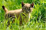 Eurasian Lynx Cub Standing in Long Grass