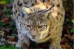 Eurasian Lynx Crouching, Bavarian Forest National Park, Bavaria, Germany