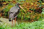 Black Stork (Ciconia nigra) Standing near Water, Bavarian Forest National Park, Bavaria, Germany