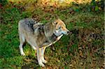 Eurasian Gray Wolf (Canis lupus lupus), Bavarian Forest National Park, Bavaria, Germany