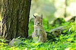Young Eurasian Lynx, Wildpark Alte Fasanerie Hanau, Hanau, Hesse, Germany