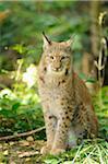 Eurasian Lynx Sitting in Forest, Wildpark Alte Fasanerie Hanau, Hanau, Hesse, Germany