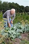 A senior man bending over to inspect a plant in his garden