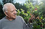 A man examining the cranberries on a High Bush Cranberry bush