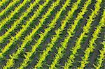 Vineyard in the Summer