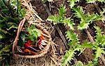 Basket of picked vegetables in garden