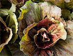 Close up of lettuce head in garden