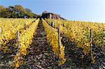 grape harvest in vineyard, Saar Valley, Germany