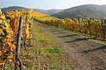 vineyard in autumnal colours, Saar Valley, Germany