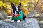 Boston Terrier puppy on rock in forrest.