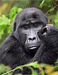 A Mountain Gorilla of the Nshongi Group in the Bwindi Impenetrable Forest of Southwest Uganda, Africa