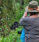 A visitor photographs a Mountain Gorilla of the Nshongi Group feeding in the Bwindi Impenetrable Forest of Southwest Uganda, Africa