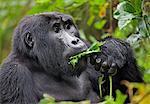 A Mountain Gorilla of the Nshongi Group feeds on leaves in the Bwindi Impenetrable Forest of Southwest Uganda, Africa
