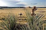 Cowboy in Pawnee National Grassland, Colorado, USA,