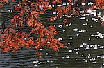 Maple leaves at Kitako Lake, Saitama Prefecture