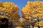 Ginkgo Biloba trees