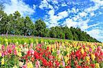 Flower field in Furano, Hokkaido