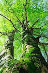 Buna tree