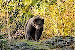 Eurasian Brown Bear (Ursus arctos arctos) in Wooded Area in Autumn, Bavarian Forest National Park, Bavaria, Germany