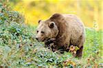 Eurasian Brown Bear (Ursus arctos arctos) in Ground Foliage, Bavarian Forest National Park, Bavaria, Germany