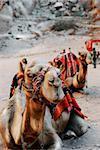Camels in town of Petra, Jordan