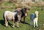 Ponies and foal on Dartmoor, Devon, England, United Kingdom, Europe
